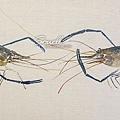 泰國蝦S.jpg