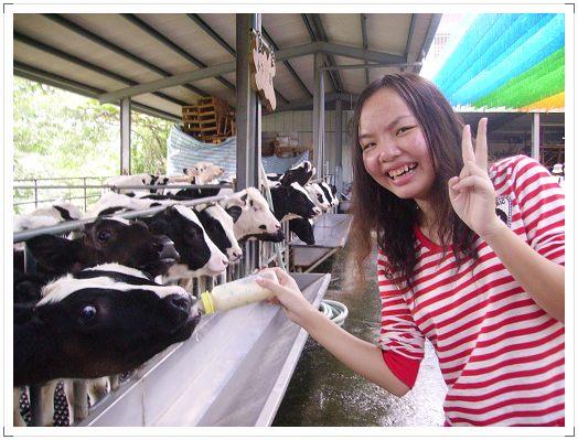 我餵小牛喝奶