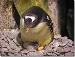 巴布亞企鵝寶寶窩在企鵝親鳥的懷抱中1