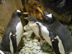 巴布亞企鵝親鳥與寶寶2