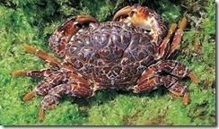 銅鑄熟若蟹