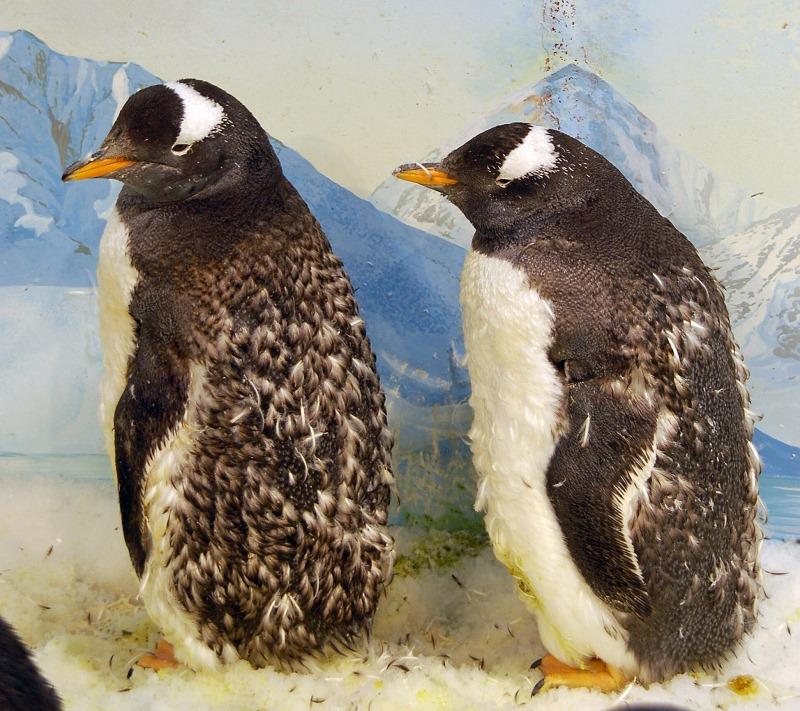 nEO_IMG_換毛中的巴布亞企鵝2