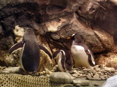 巴布亞企鵝親鳥與寶寶-1