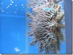 棘冠海星4