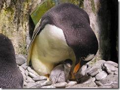 巴布亞企鵝寶寶窩在企鵝親鳥的懷抱中
