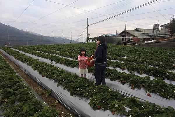 亞亞的馬拉邦草莓 (4).JPG