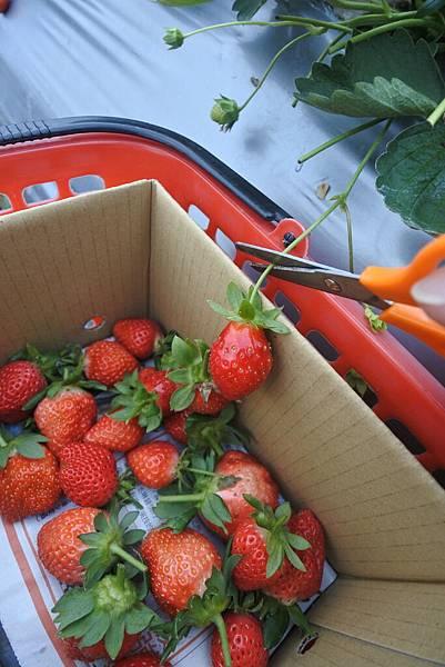 亞亞的馬拉邦草莓 (3).JPG