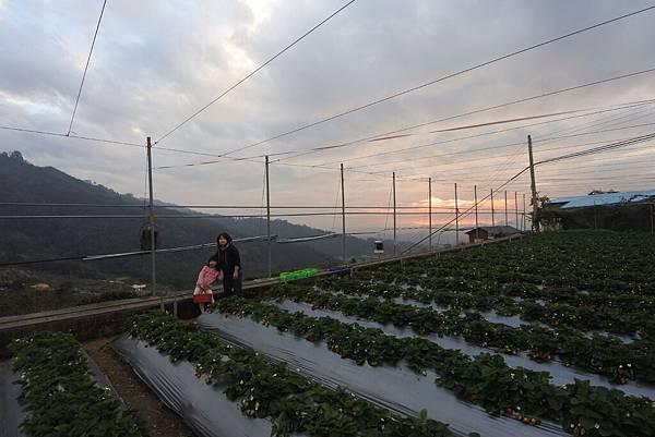 亞亞的馬拉邦草莓 (5).JPG