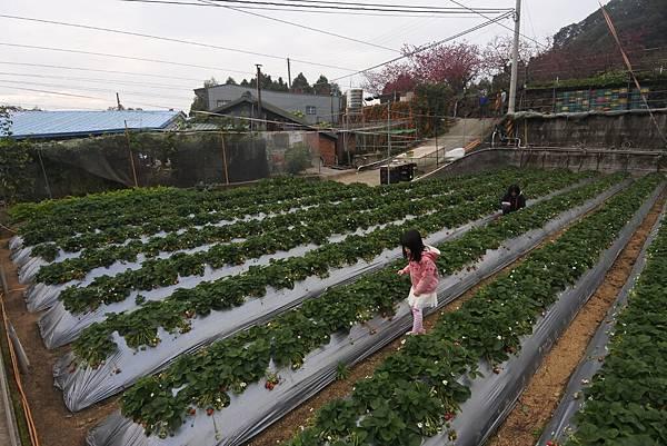 亞亞的馬拉邦草莓 (2).JPG