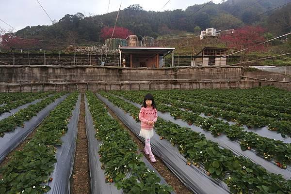 亞亞的馬拉邦草莓 (6).JPG