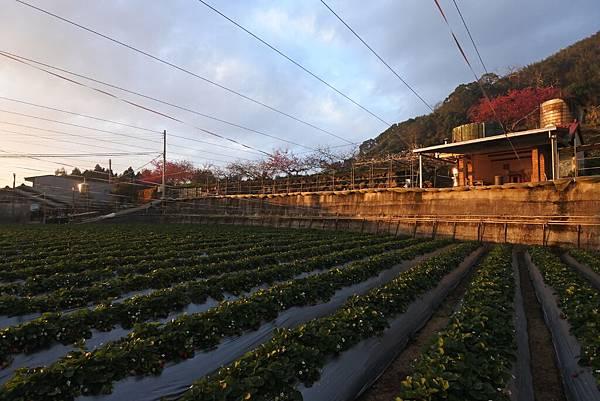 亞亞的馬拉邦草莓 (12).JPG