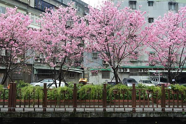 亞亞的櫻吹雪《希望之河》 (25).JPG