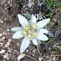edelweiss-296201_960_720.jpg