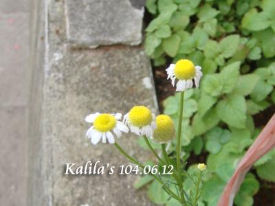 0612德國洋甘菊