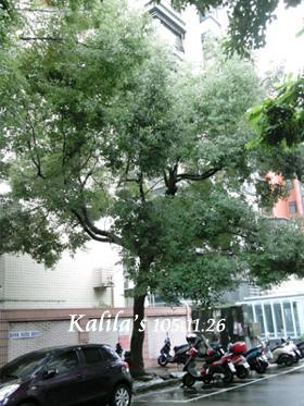 1051126樟樹