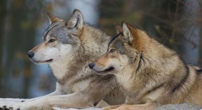 力量動物-狼