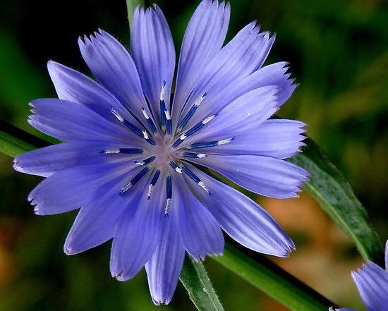 菊苣Chicory2