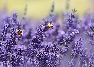 lavender-1537694_960_720s.jpg