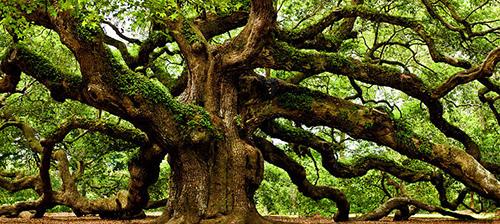 橡樹s.jpg