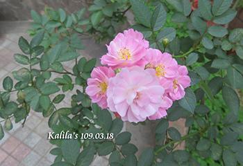 0318淺色天使薔薇2s.jpg
