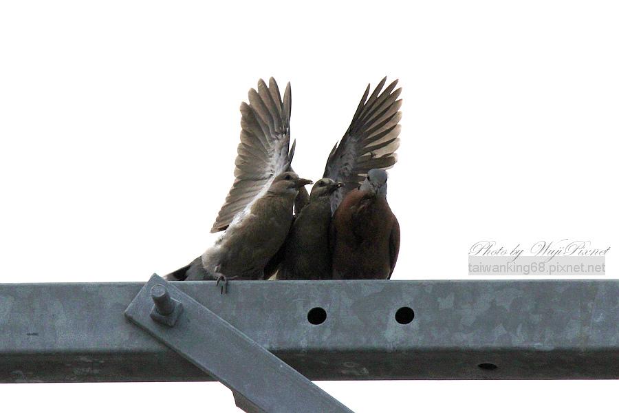 賞鳥系列「斑鳩」_無忌痞客部落