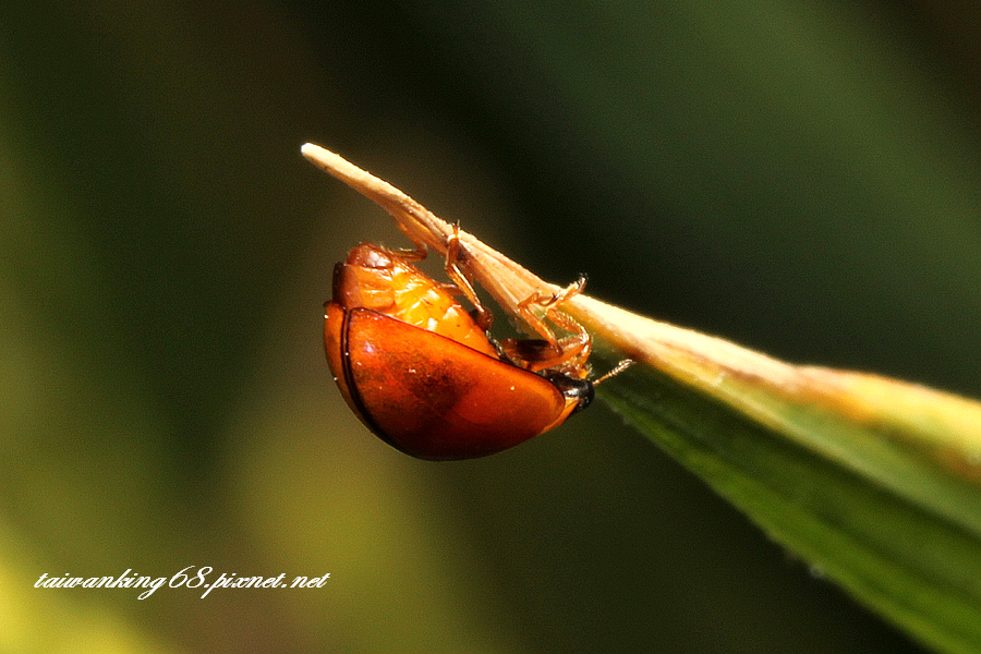 橙瓢蟲_WUJIPIXNET