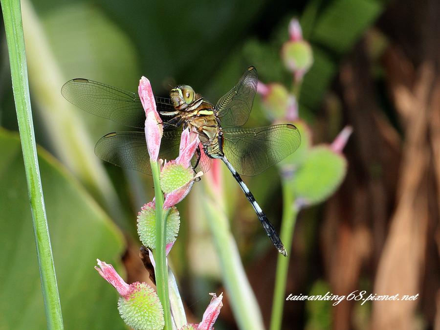 一般常見的蜻蜓