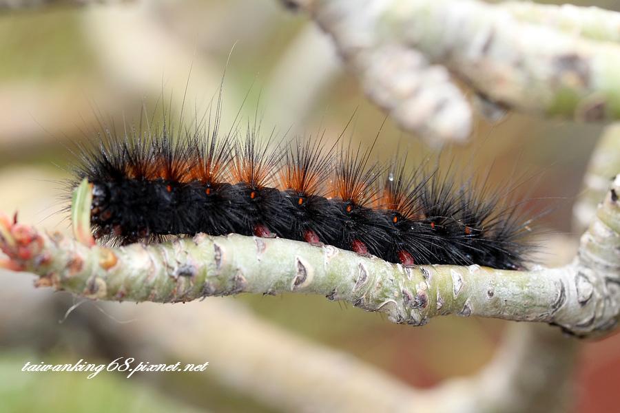 巨網燈蛾的幼蟲