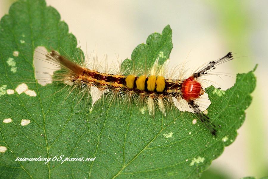 小白紋毒蛾的幼蟲