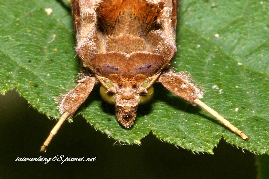 褐斑舟蛾 成蟲