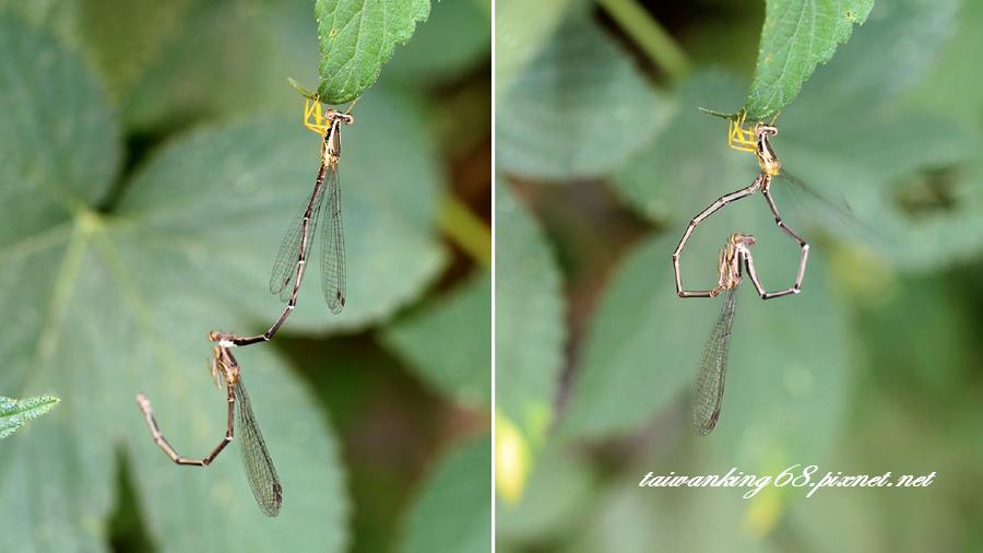 蜻蜓與豆娘_WUJIPIXNET