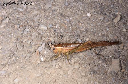 斑翅草蝨 - 嘎嘎昆蟲網