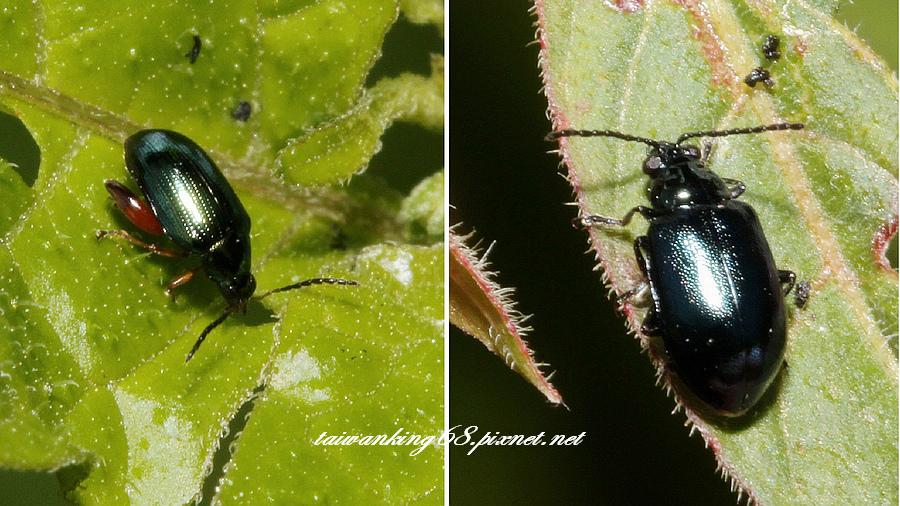 蓬萊側刺葉蚤 + 深藍色金花蟲_WUJIPIXNET