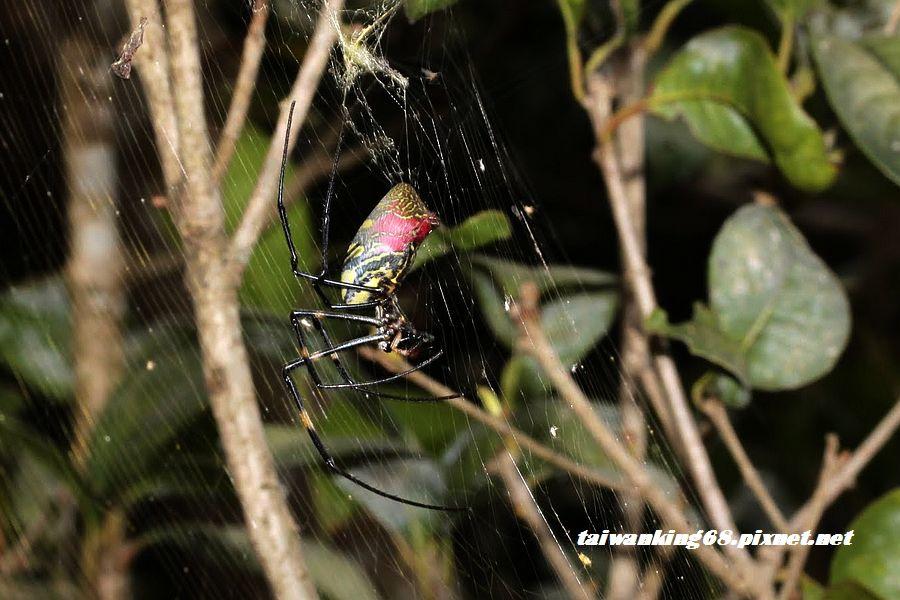 IMG_4611人面蜘蛛