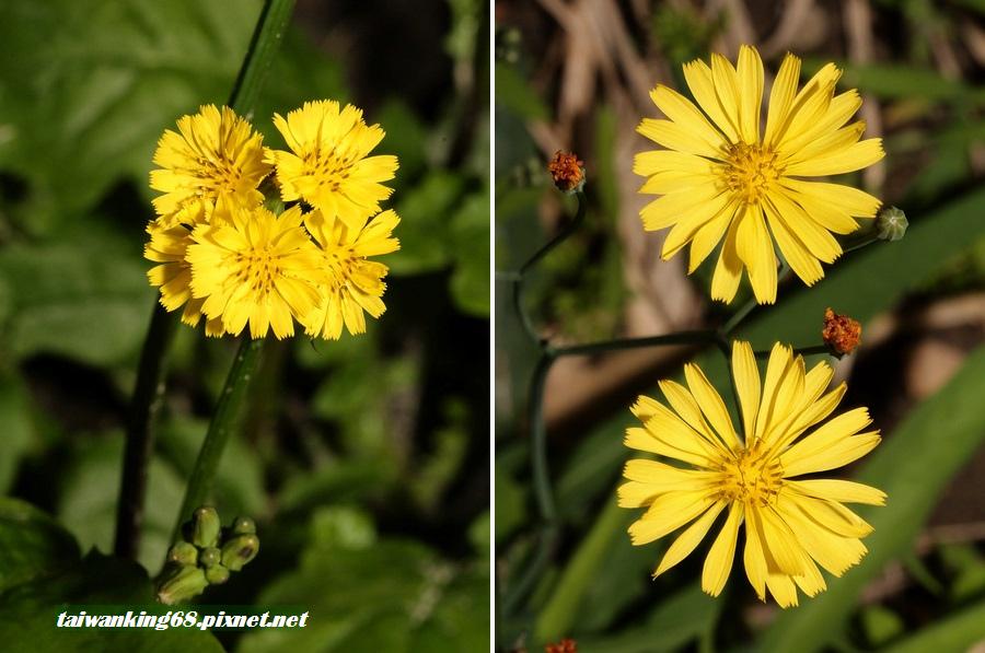 山鵝菜與黃鵪菜的花朵區別