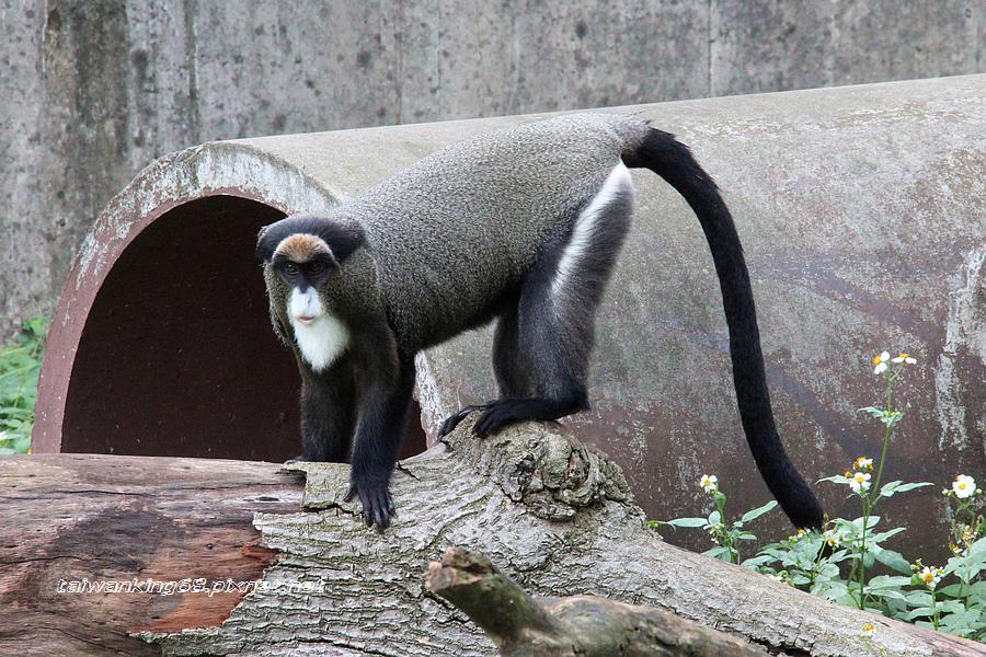 白髥翁面猴_WUJIPIXNET