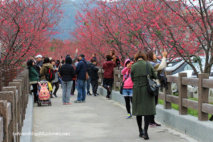 2016泰安派出所櫻花_WUJIPIXNET