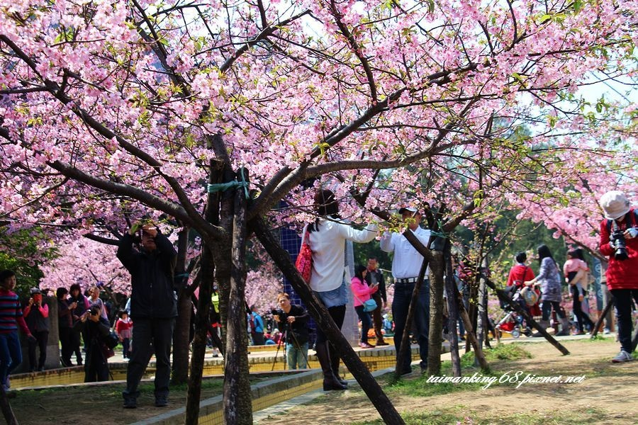 新竹公園的河津櫻_20160303WUJIPIXNET
