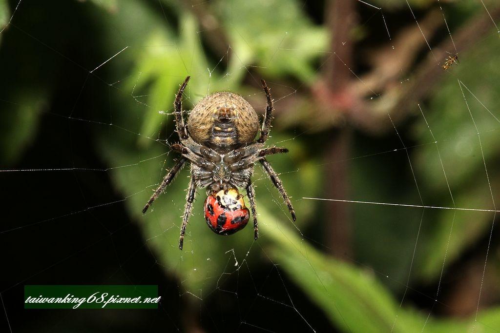 蜘蛛與瓢蟲