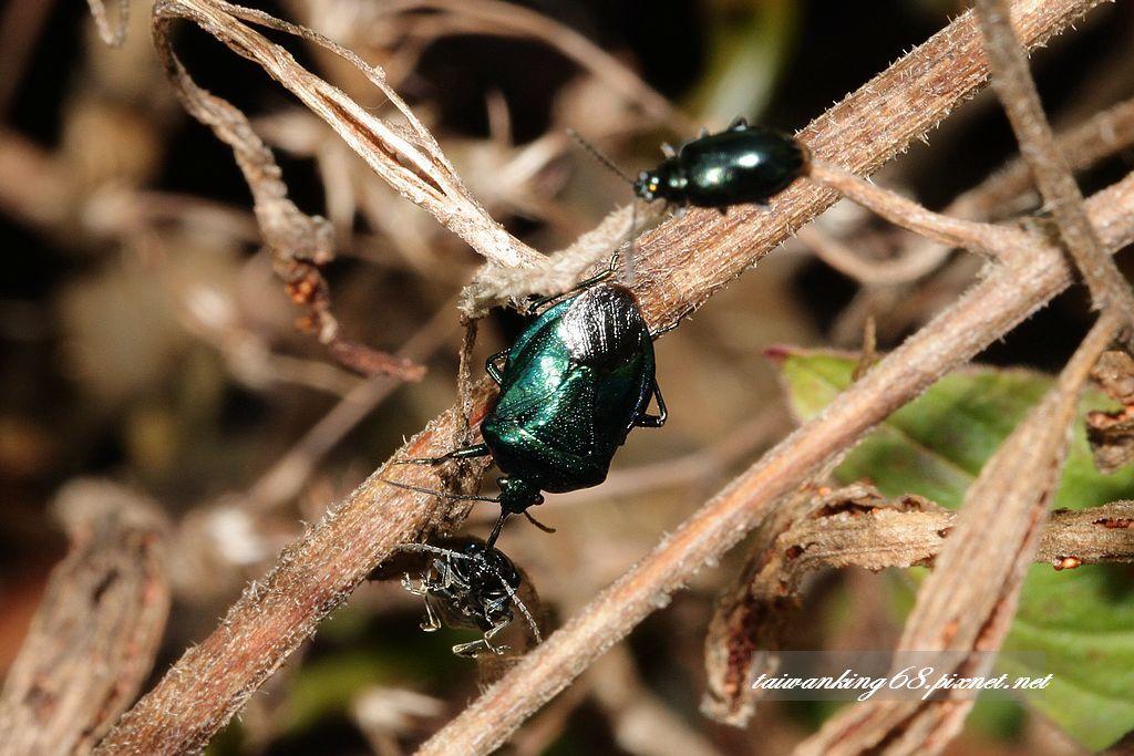 藍益椿象獵殺深藍金花蟲