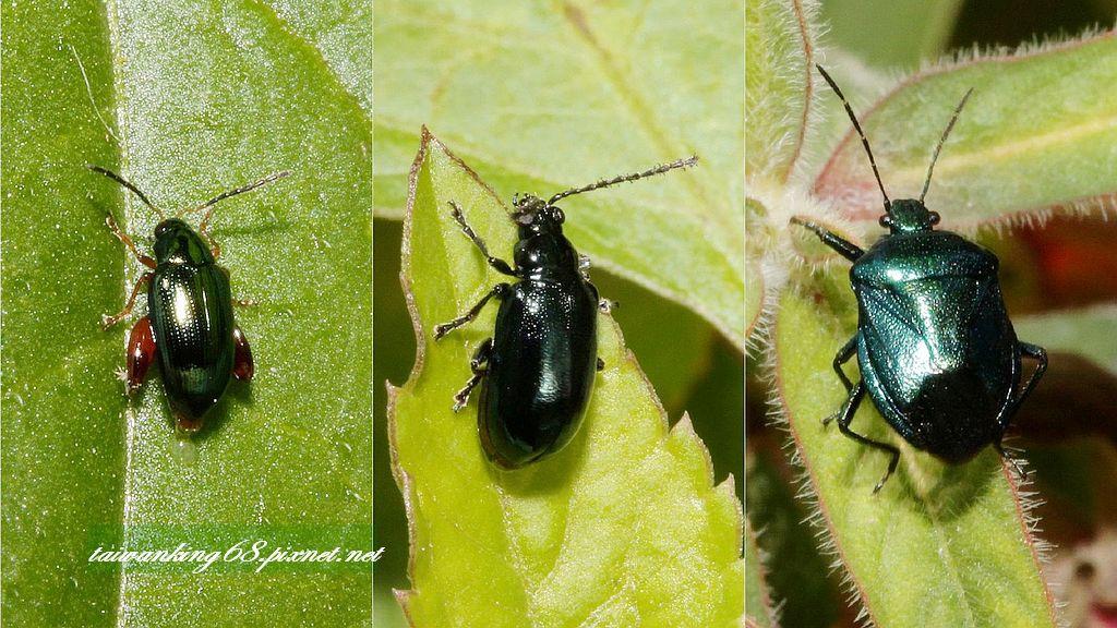 蓬萊側刺葉蚤 深藍金花蟲 藍益椿象