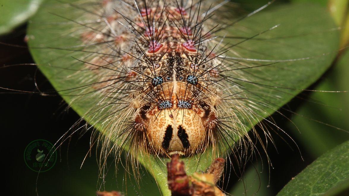 停留在厚葉石斑的毛毛蟲