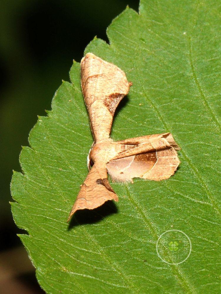 三角斑雙尾蛾