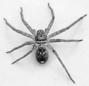 白色蜘蛛殼
