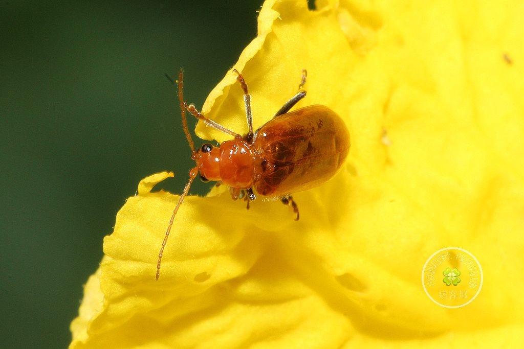 小黃溝腳葉蚤