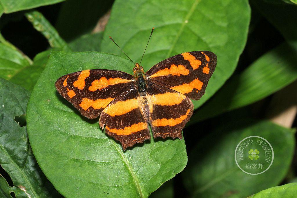 寬紋黃三線蝶