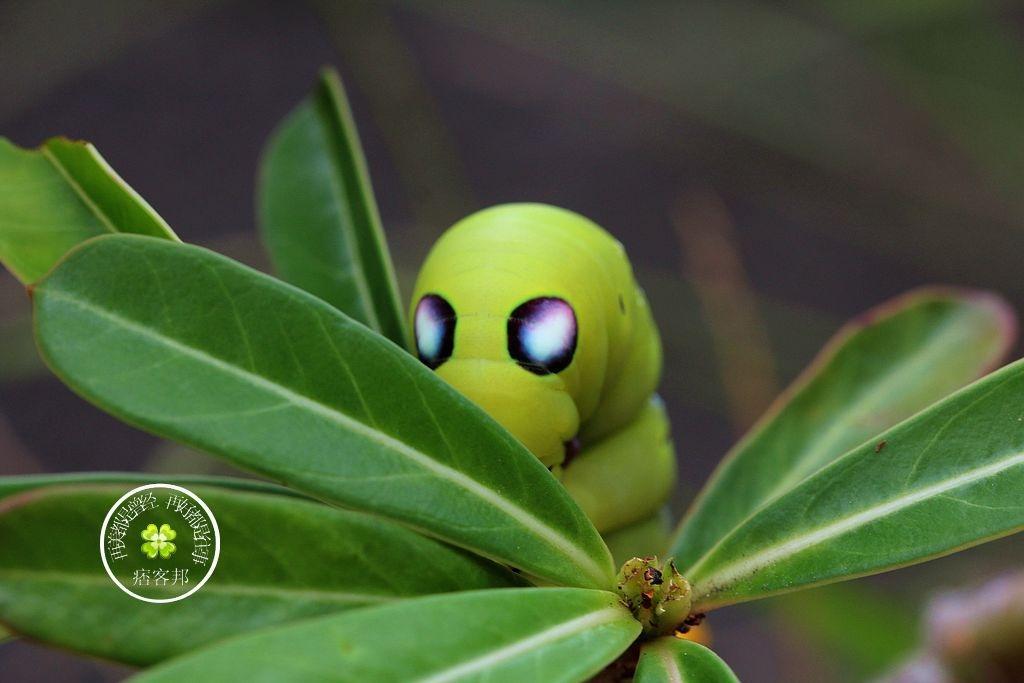 夾竹桃天蛾的幼蟲