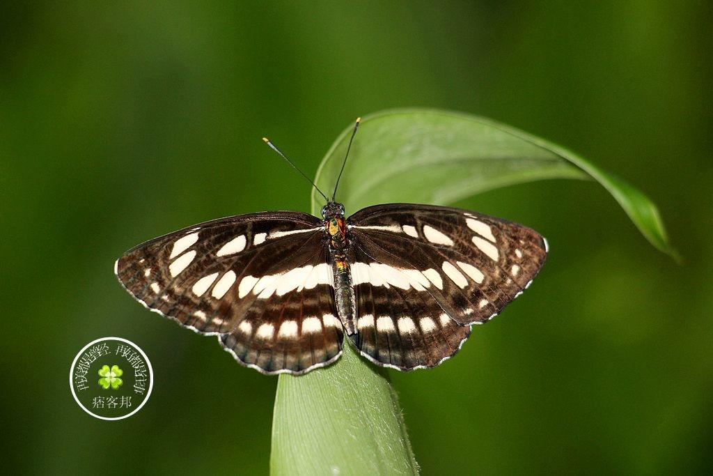 琉球三線蝶