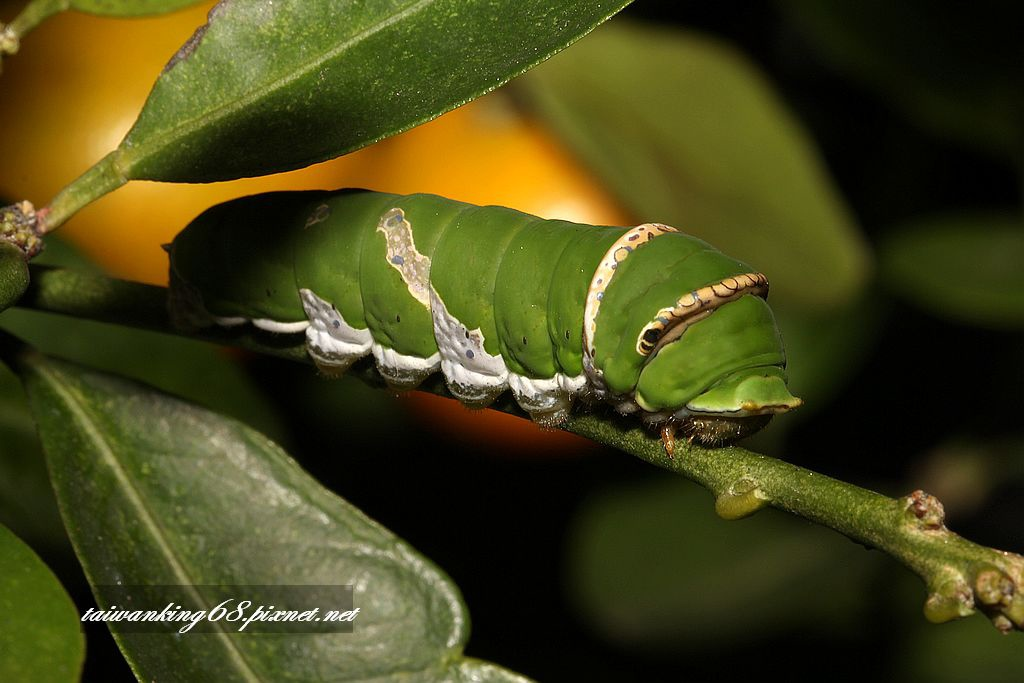 無尾鳳蝶的成長過程