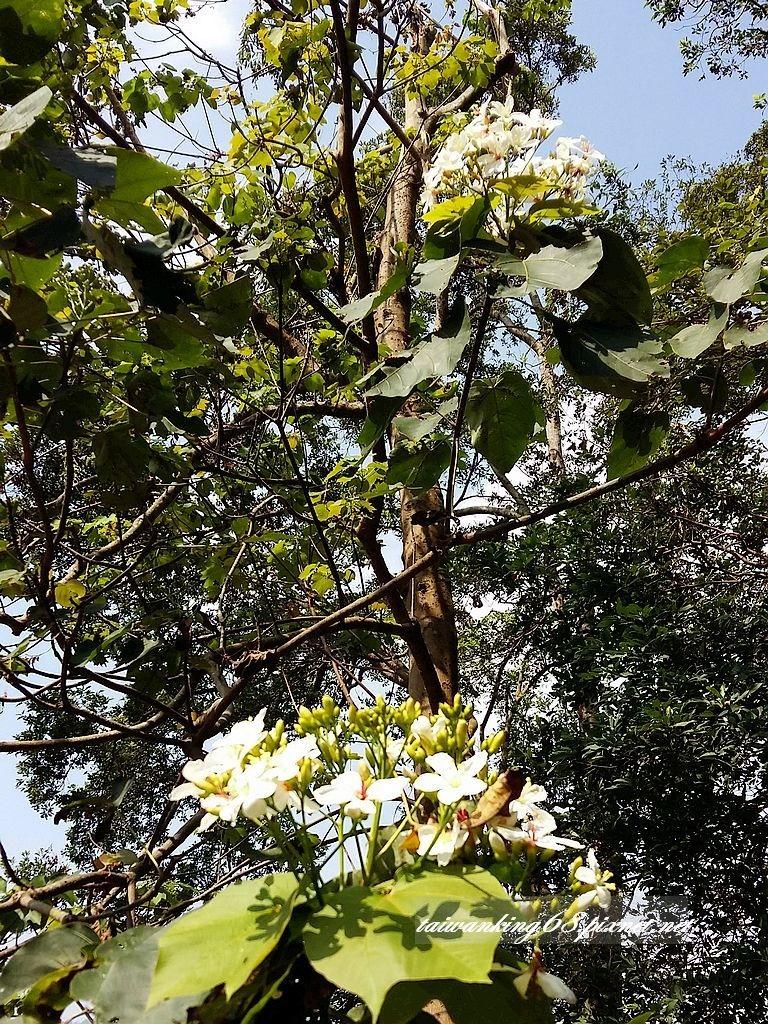 11月的三義油桐花